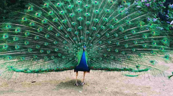 Essay on Peacock in English